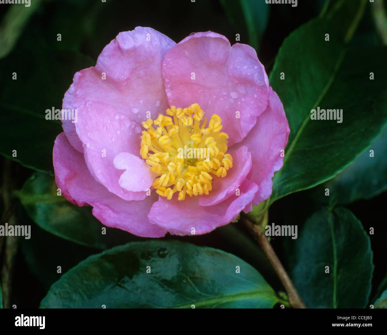 Camellia X Williamsii November Pink Flower Flowers Garden Plant