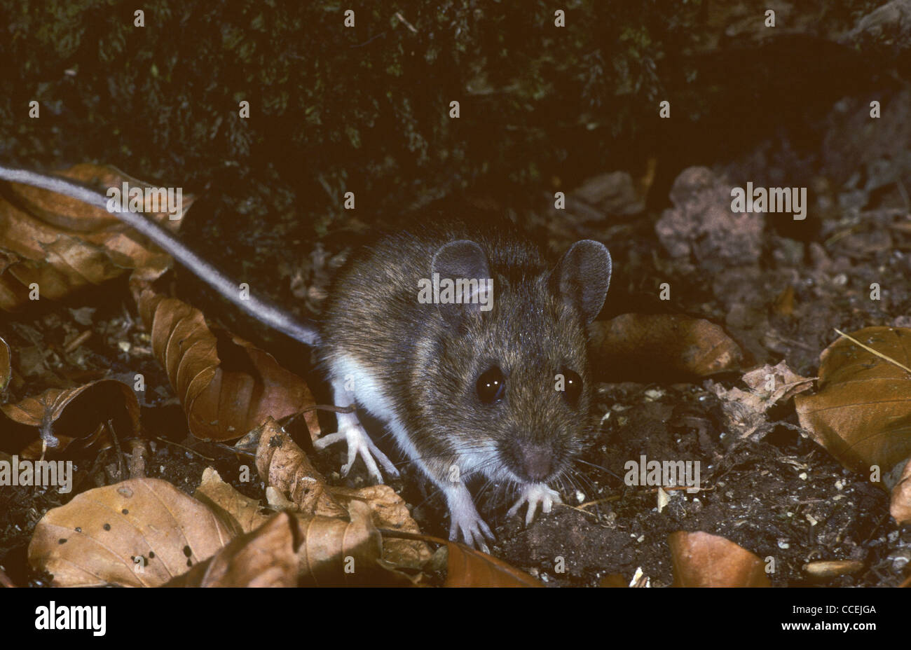 Wood Mouse Apodemus sylvaticus on woodland floor. UK - Stock Image