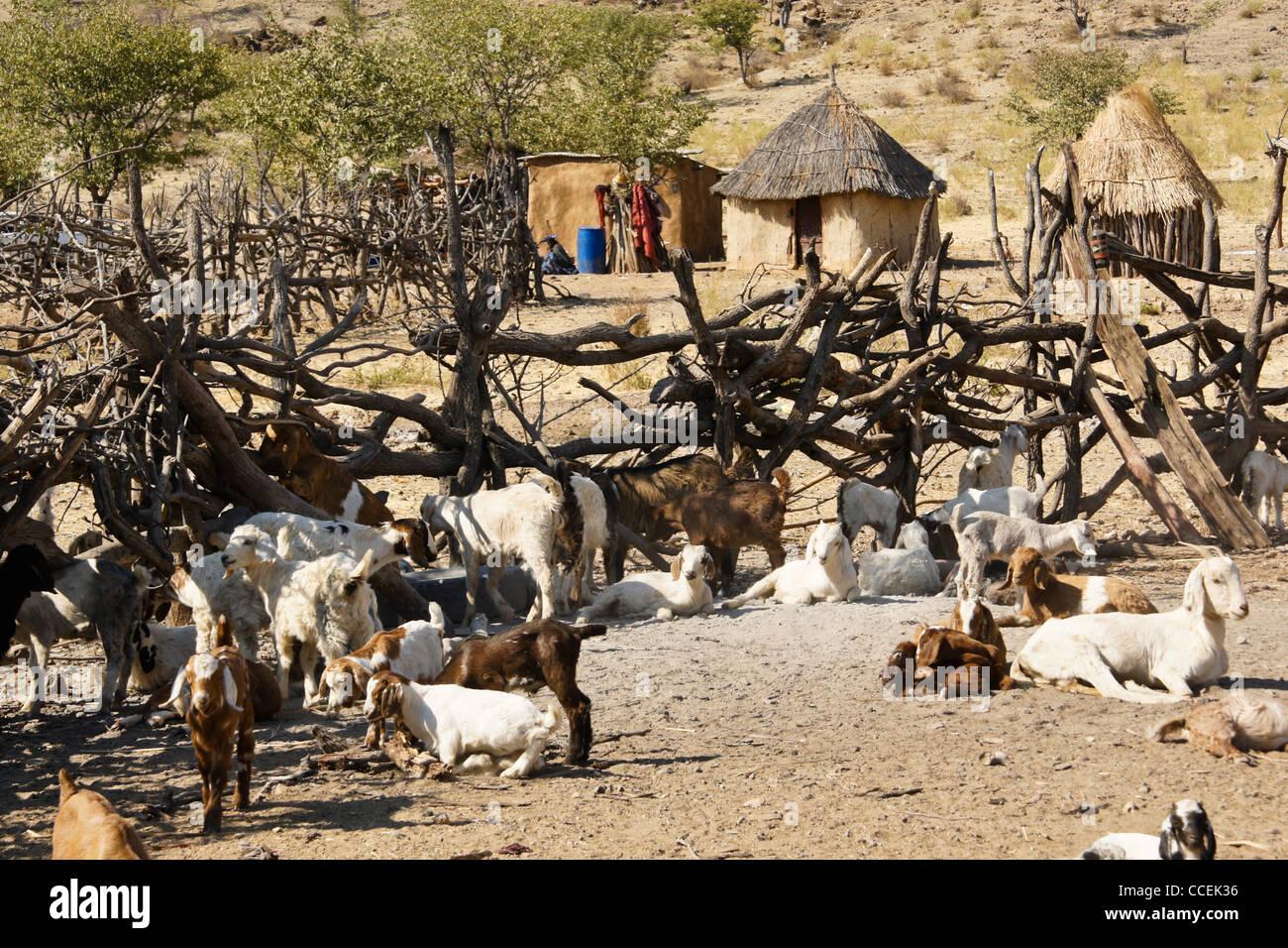 Goats in Himba village near Opuwo, Namibia - Stock Image