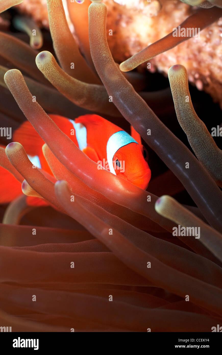 False Percula Clownfish Amphiprion ocellaris in Magnificent Sea ...