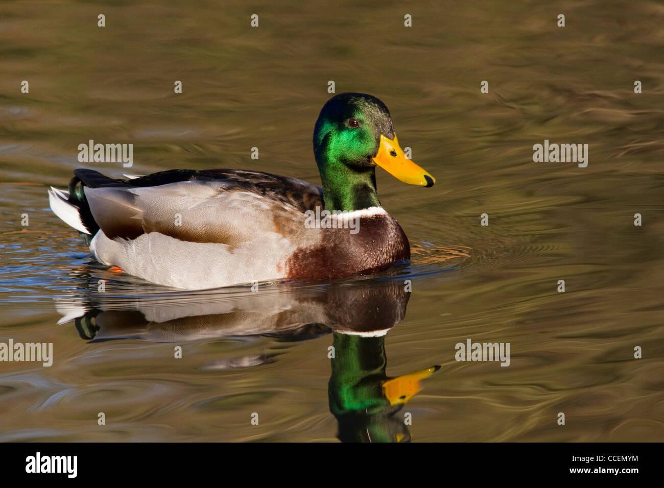 Male mallard duck, Anas platyrhynchos, Surrey, England, UK - Stock Image