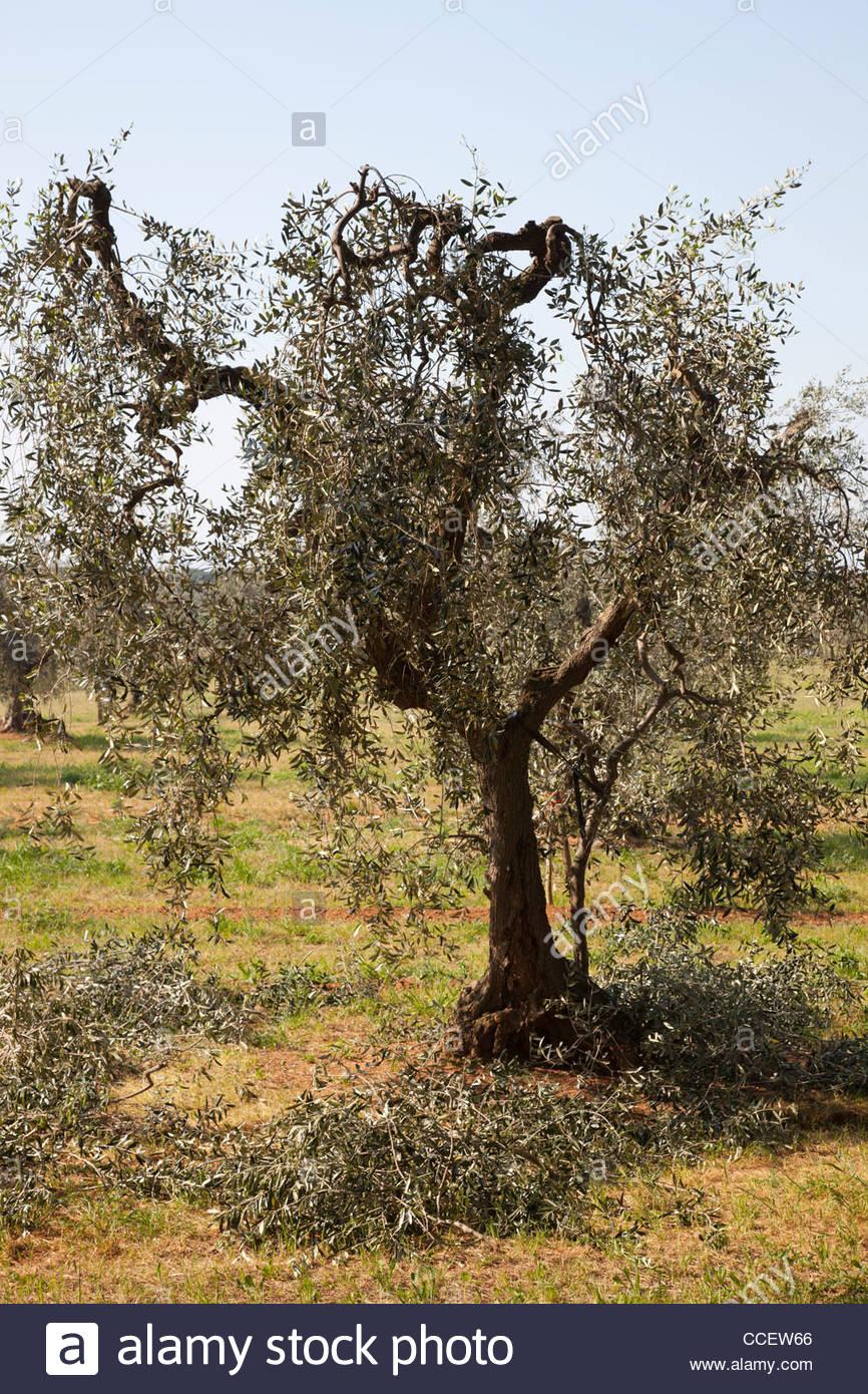 olive trees,alberese,grosseto province,maremma,,tuscany,italy,europe - Stock Image