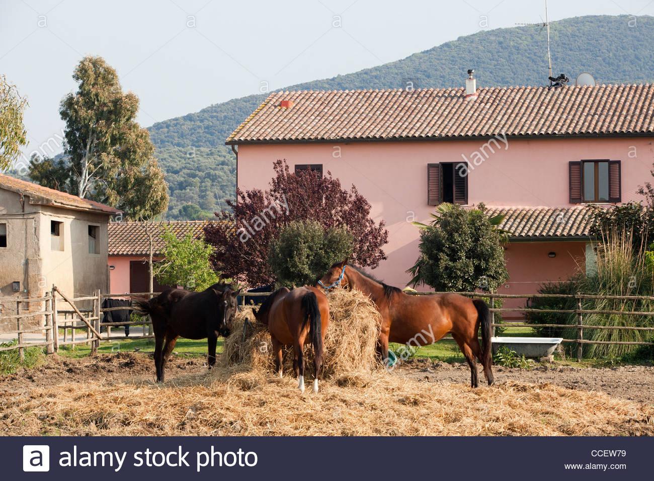 horses,uccellina park,alberese,grosseto province,maremma,,tuscany,italy,europe - Stock Image