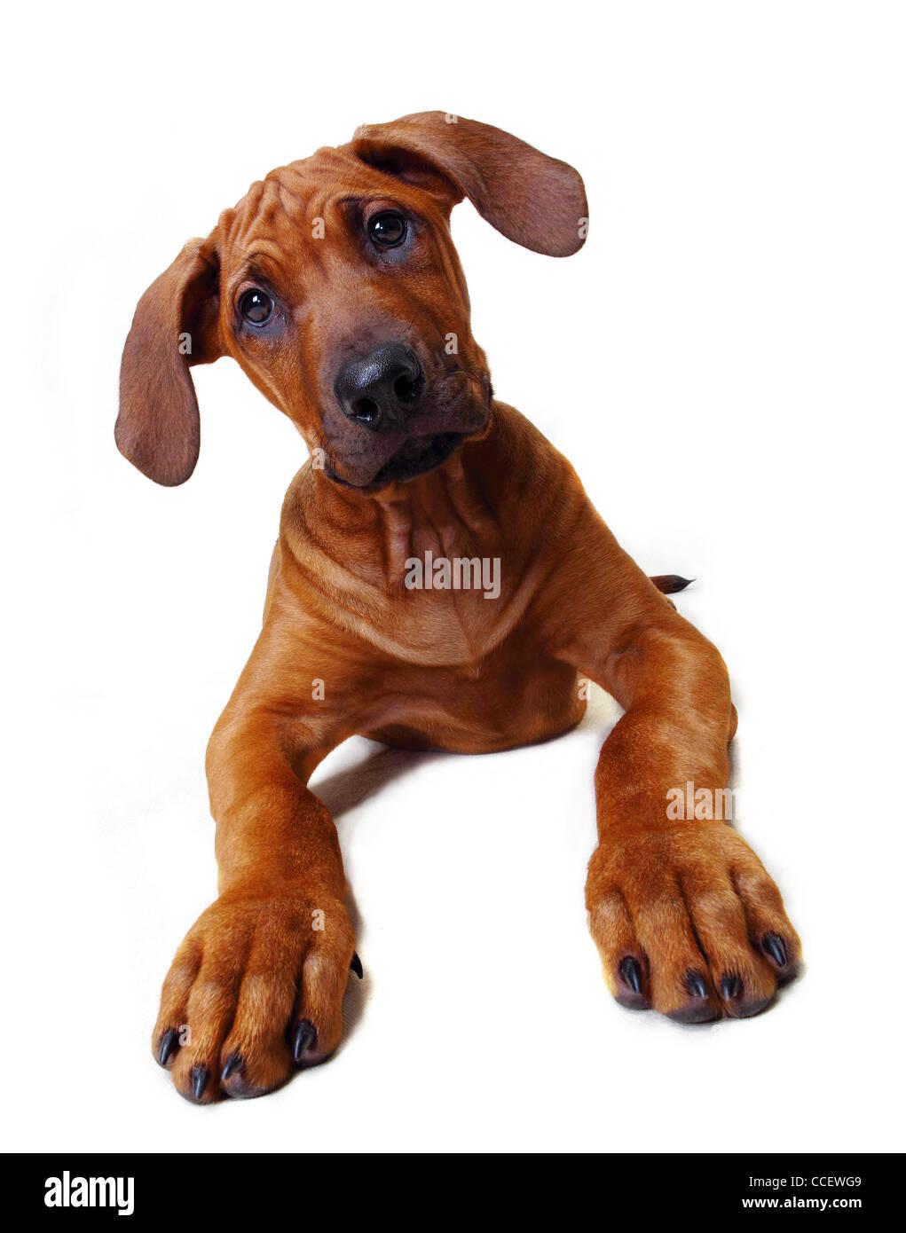 A Rhodesian Ridgeback puppy sitting down Stock Photo