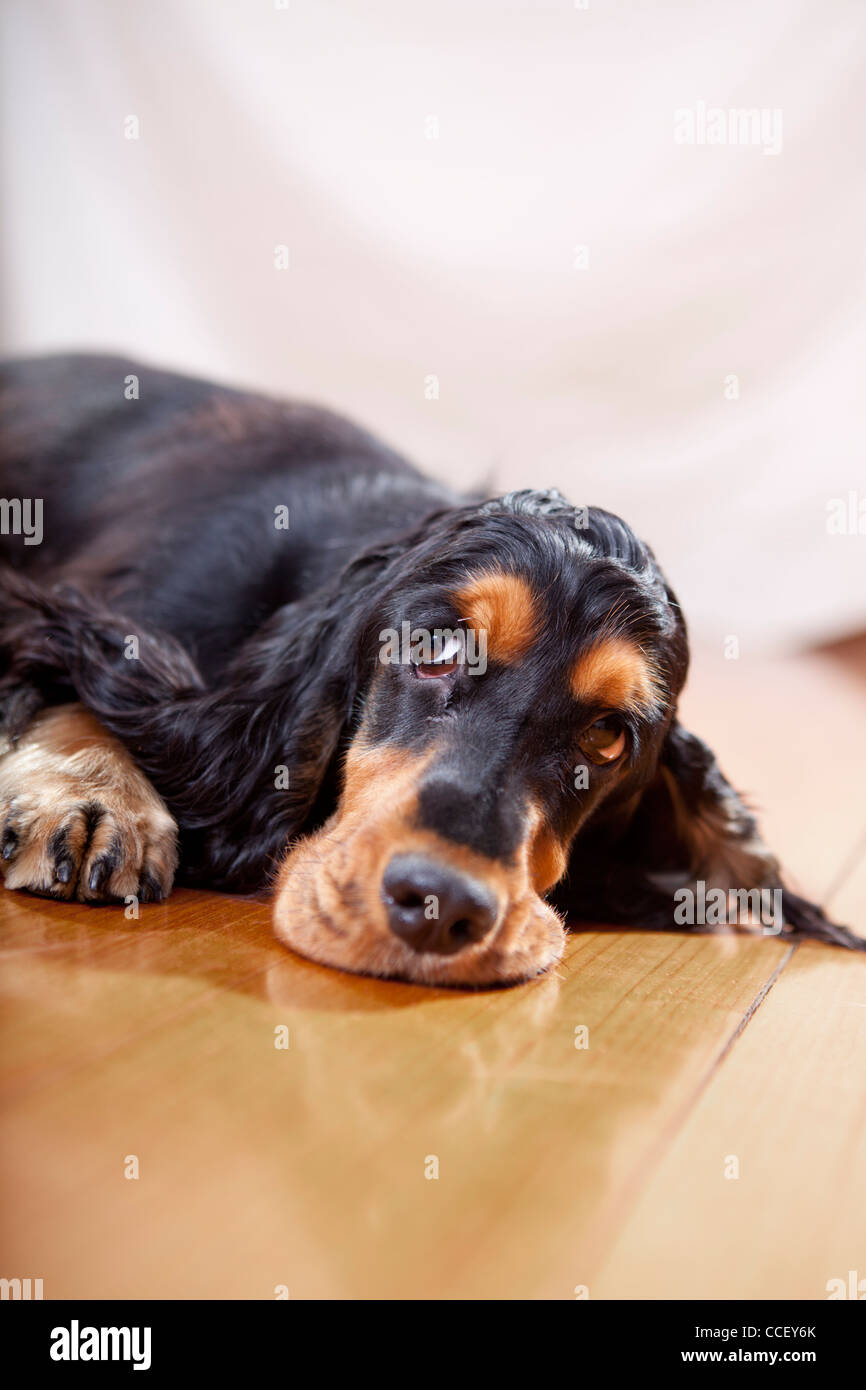 English cocker spaniel puppy black tan color making funny face on hardwood floor indoor - Stock Image