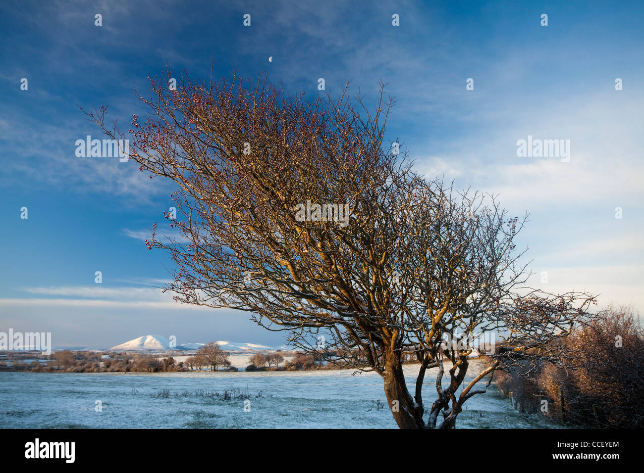 Winter hawthorn tree beneath the Nephin Beg Mountains, County Sligo, Ireland. - Stock Image