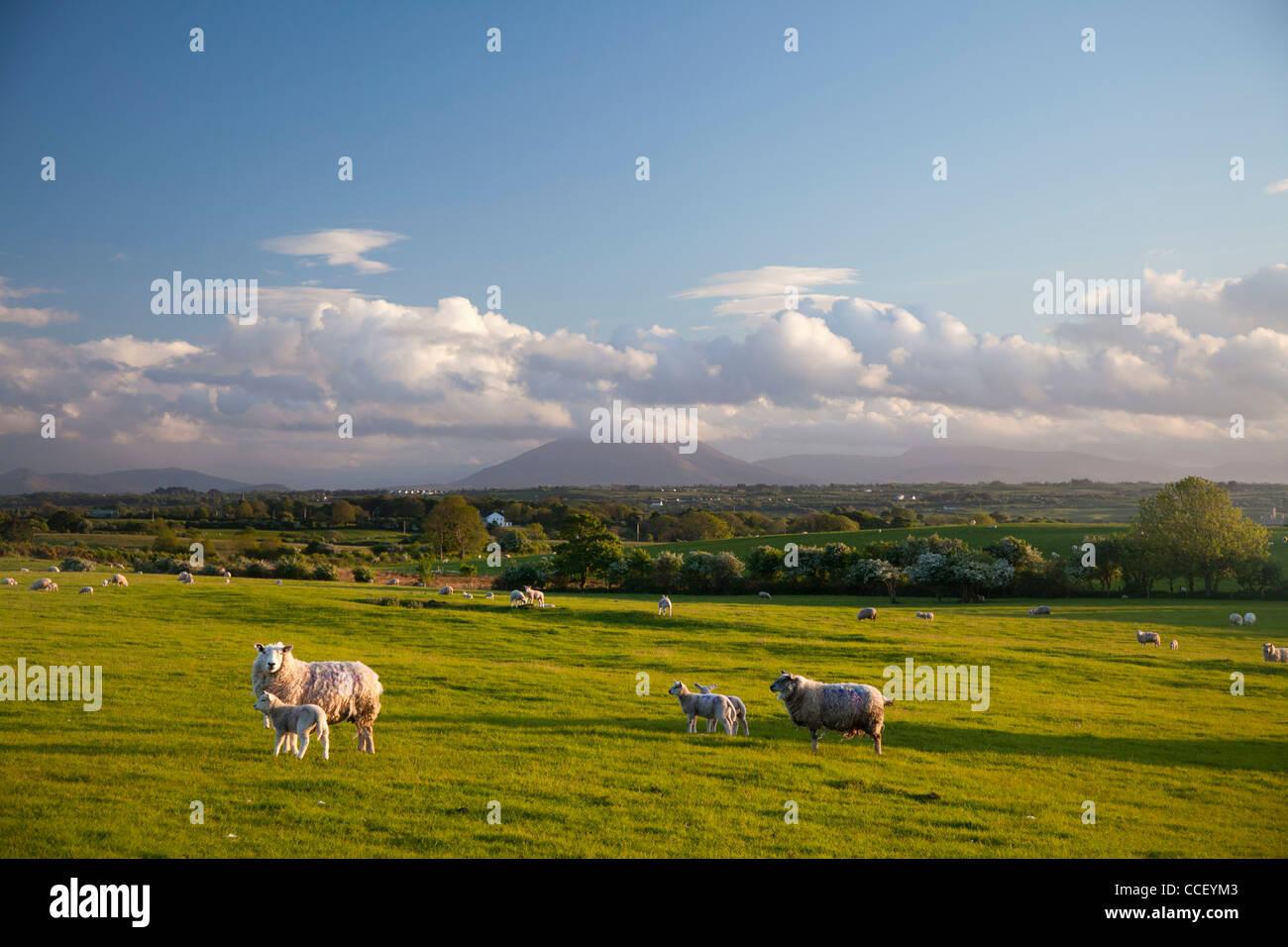 Sheep grazing beneath Nephin Mountain, County Sligo, Ireland. - Stock Image