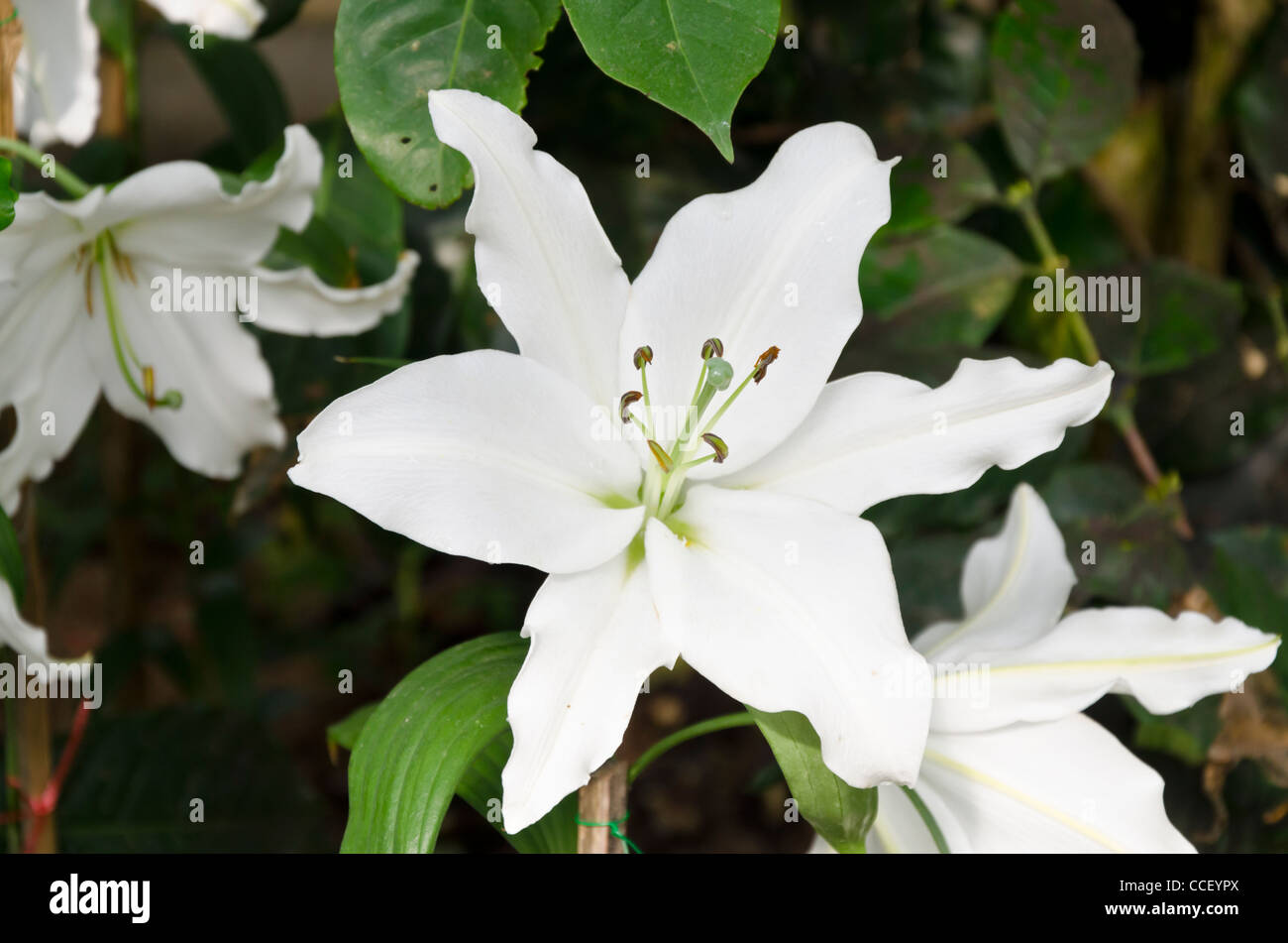 Tropical white flower thailand stock photos tropical white flower white six petal tropical flowers in garden in northern thailand stock image mightylinksfo