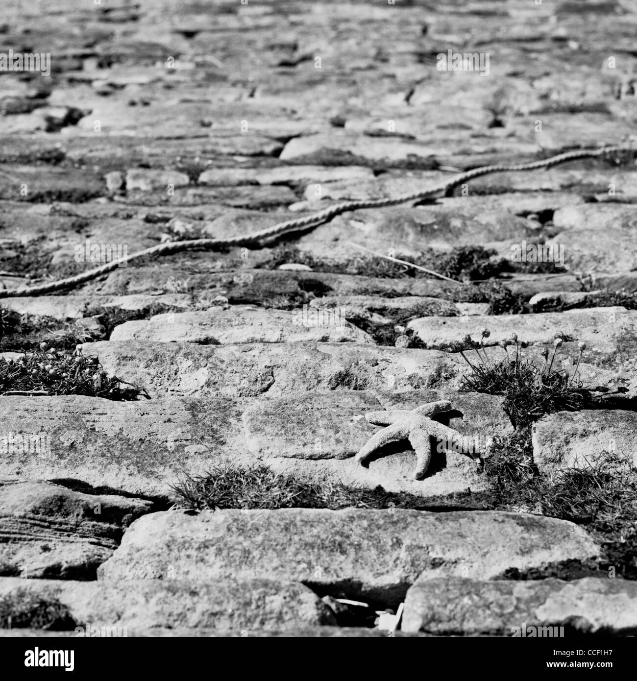A starfish on a cobbled harbour quayside, near to the town of Thurso, North Coast of Scotland. - Stock Image