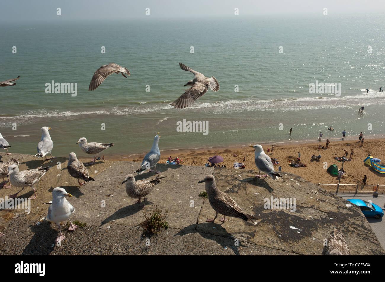 Flock of Herring gulls seagulls along the clifftops of Ramsgate. Isle of Thanet. Kent. England UK - Stock Image