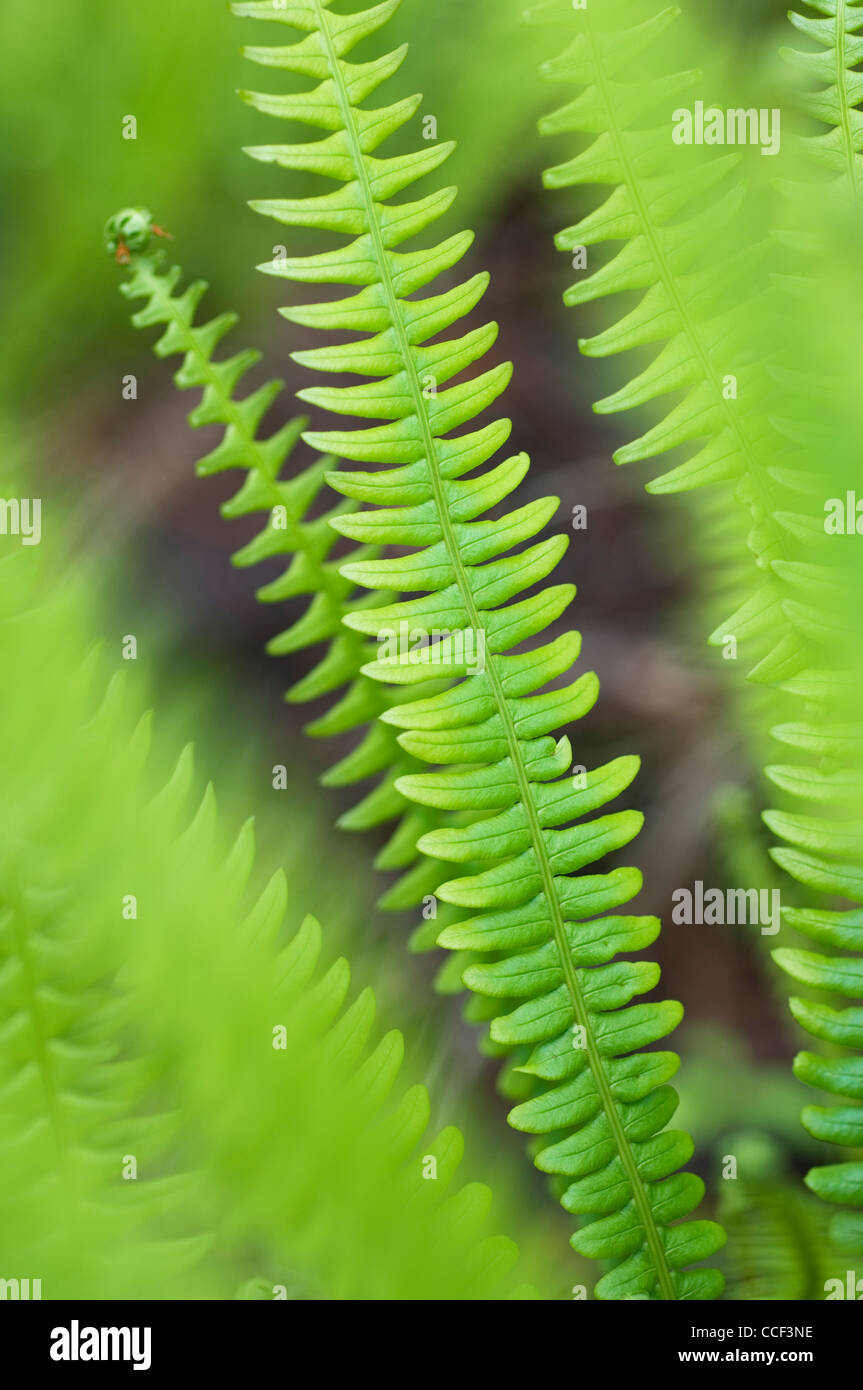 Hard fern fronds. - Stock Image