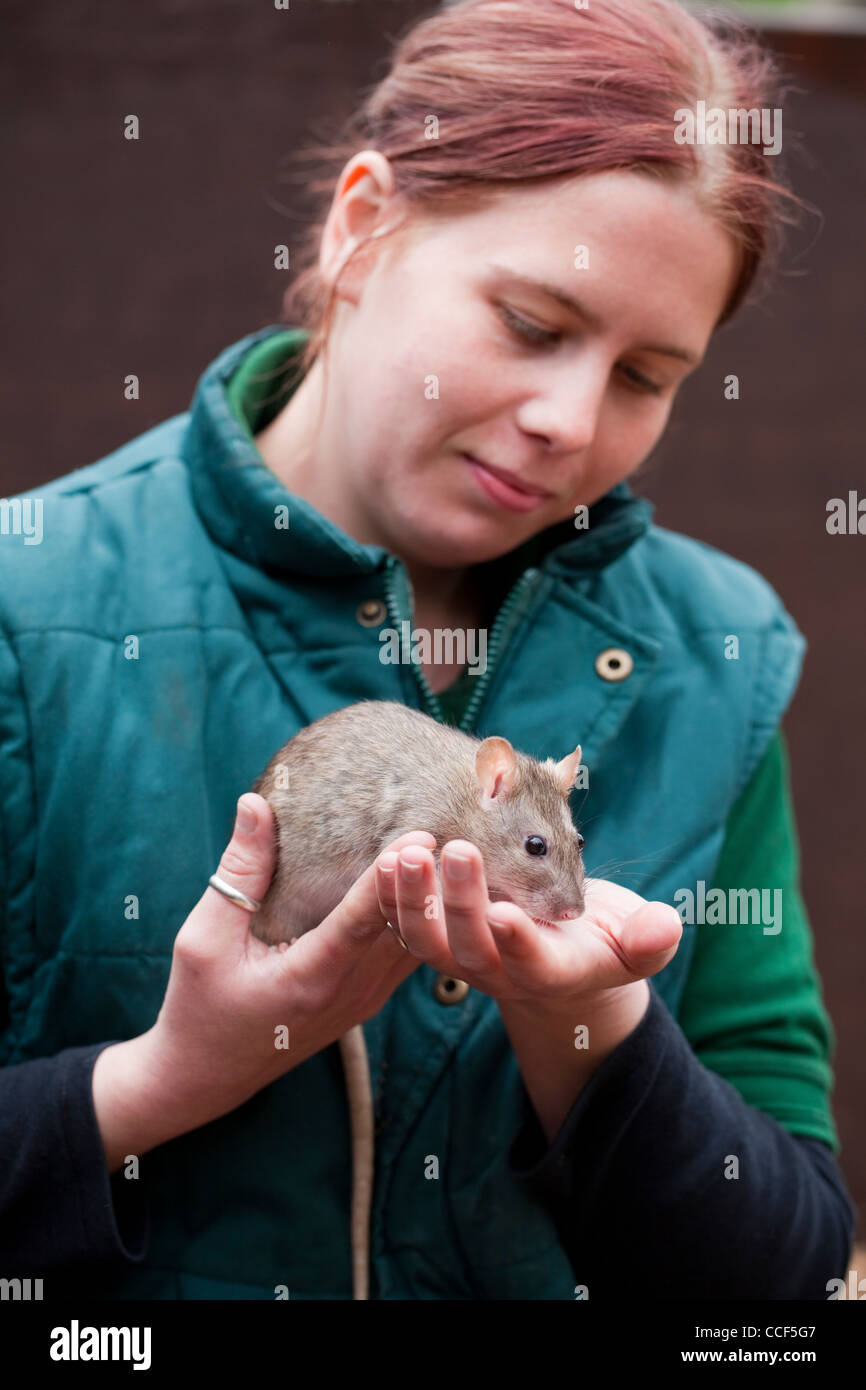 London Zoo. Staff animal handler introducing a tame Brown Rat (Rattus norvegicus), to visitors. - Stock Image