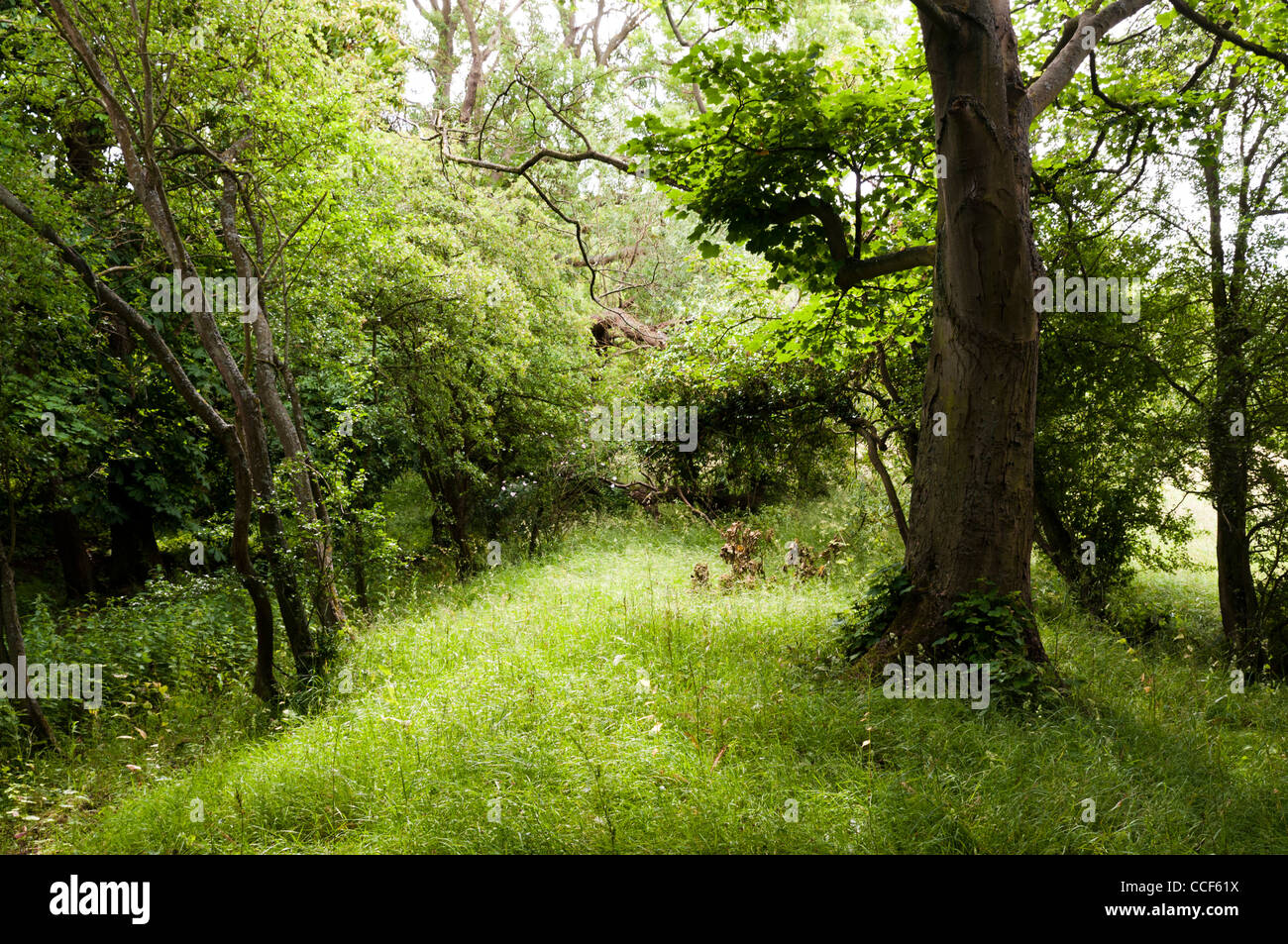 A small grassy knowl in Northamptonshire woodland - Stock Image