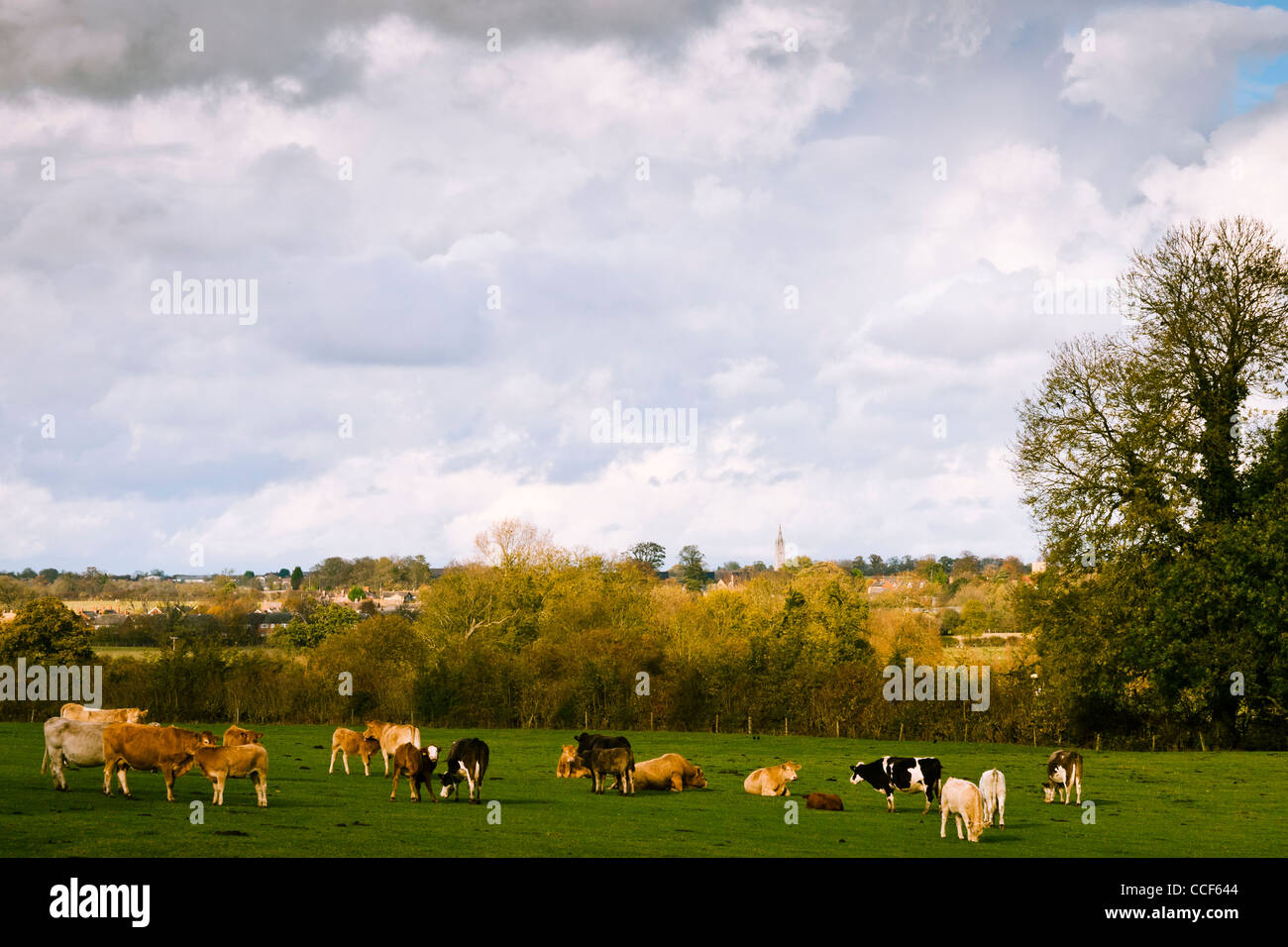 View across a cattle field in Cosgrove, Northamptonshire, with Hanslope church in the background - Stock Image