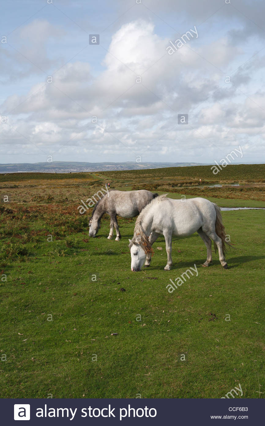 Wild horses on the Gower Peninsula in South Wales - Stock Image