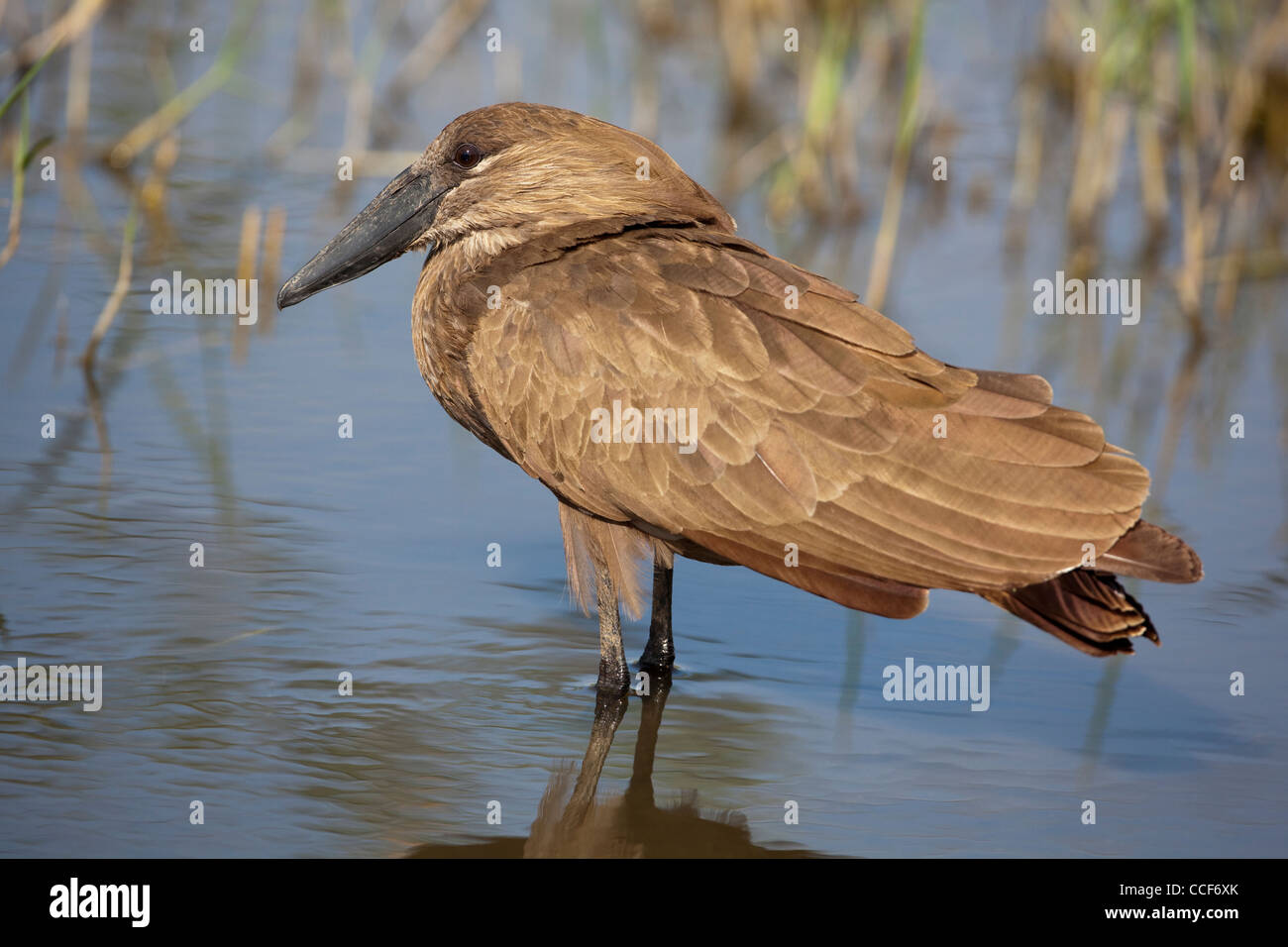 Hamerkop (Scopus umbretta). Standing and resting in shallow water. Lake Ziway. Ethiopia. Stock Photo