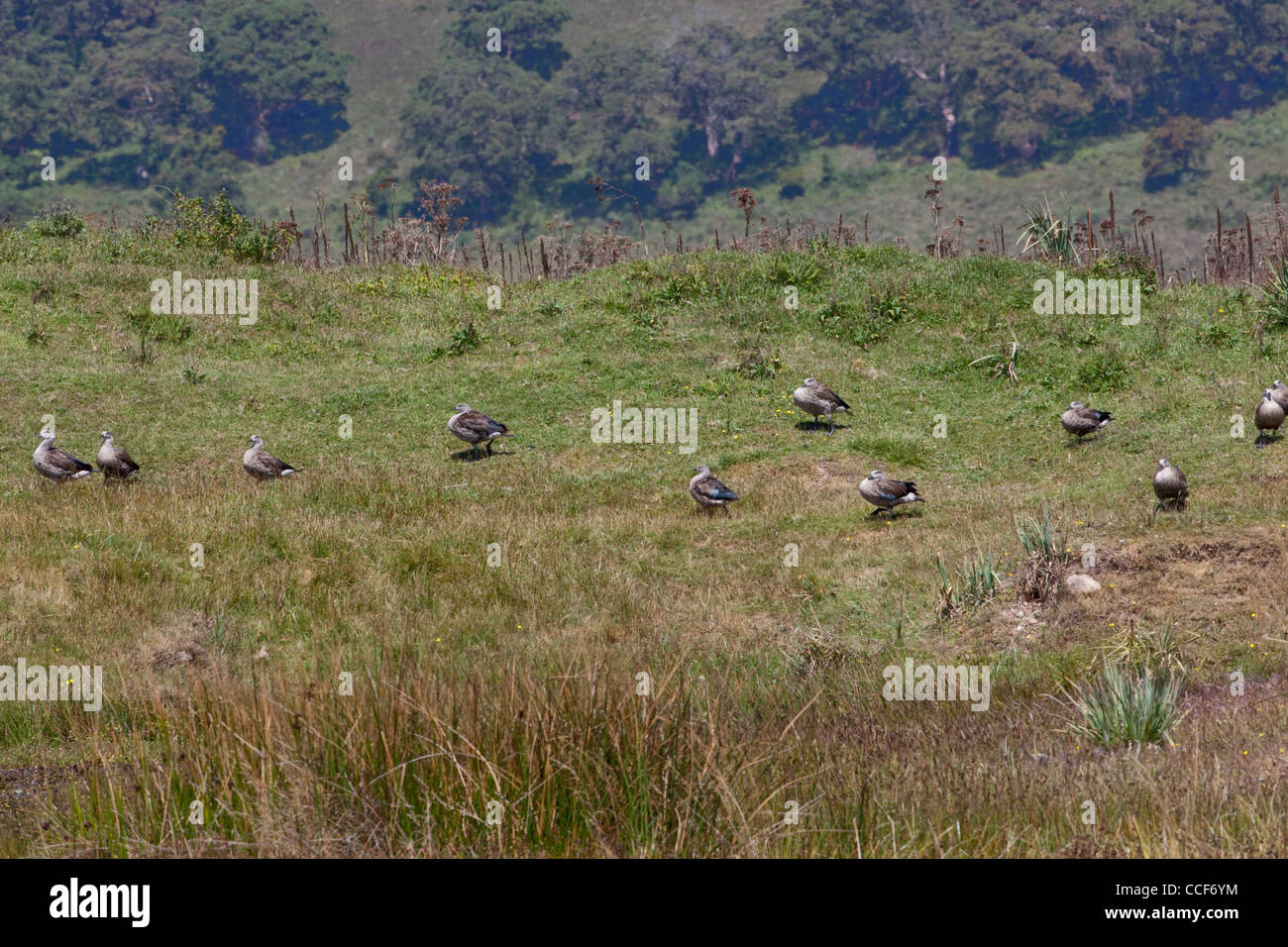 Abyssinian Blue-winged Geese (Cyanochen cyanopterus). Flock grazing on the edge of a Bale Mountain pool. - Stock Image
