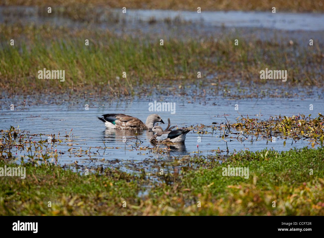 Abyssinian Blue-winged Geese (Cyanochen cyanopterus). Pair. Bale Mountain National Park. Ethiopia. - Stock Image