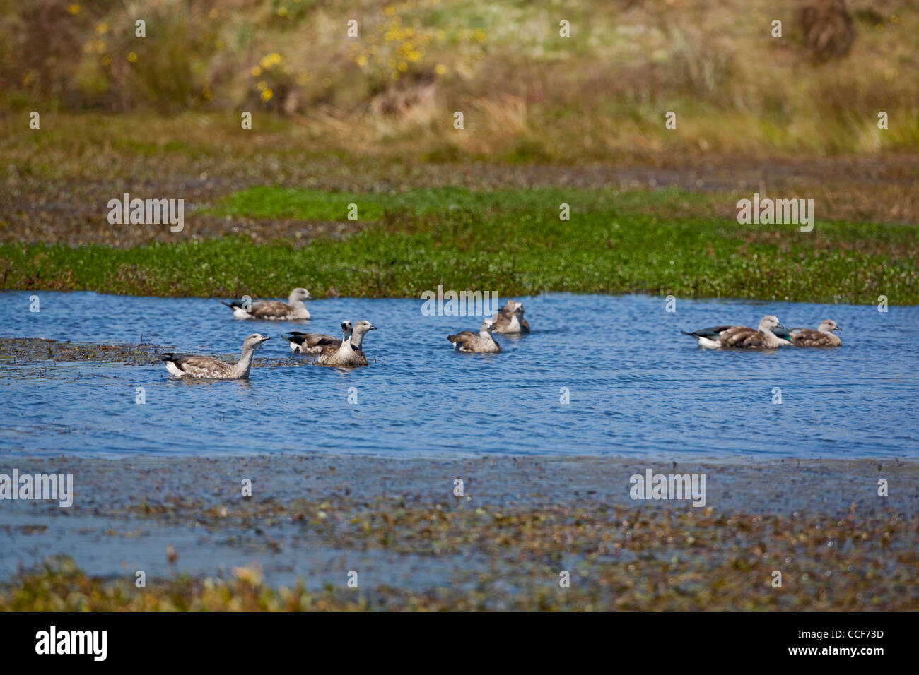 Abyssinian Blue-winged Geese (Cyanochen cyanopterus). Flock swimming on a pool. November. Bale Mountains. Ethiopia. - Stock Image