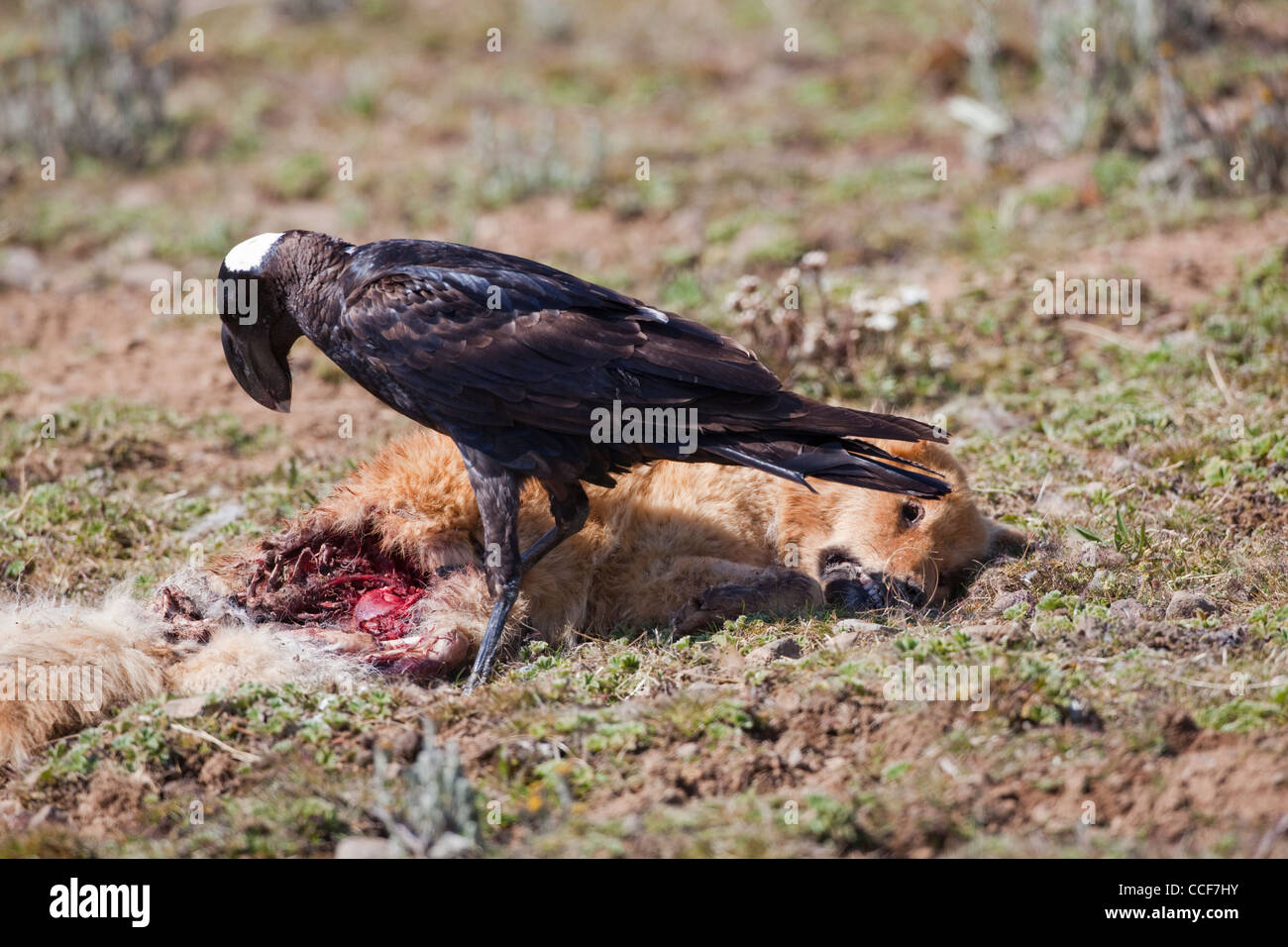 Thick-billed Raven (Corvus crassirostris). Using massive bill to break into the carcass of a feral dog. Central - Stock Image