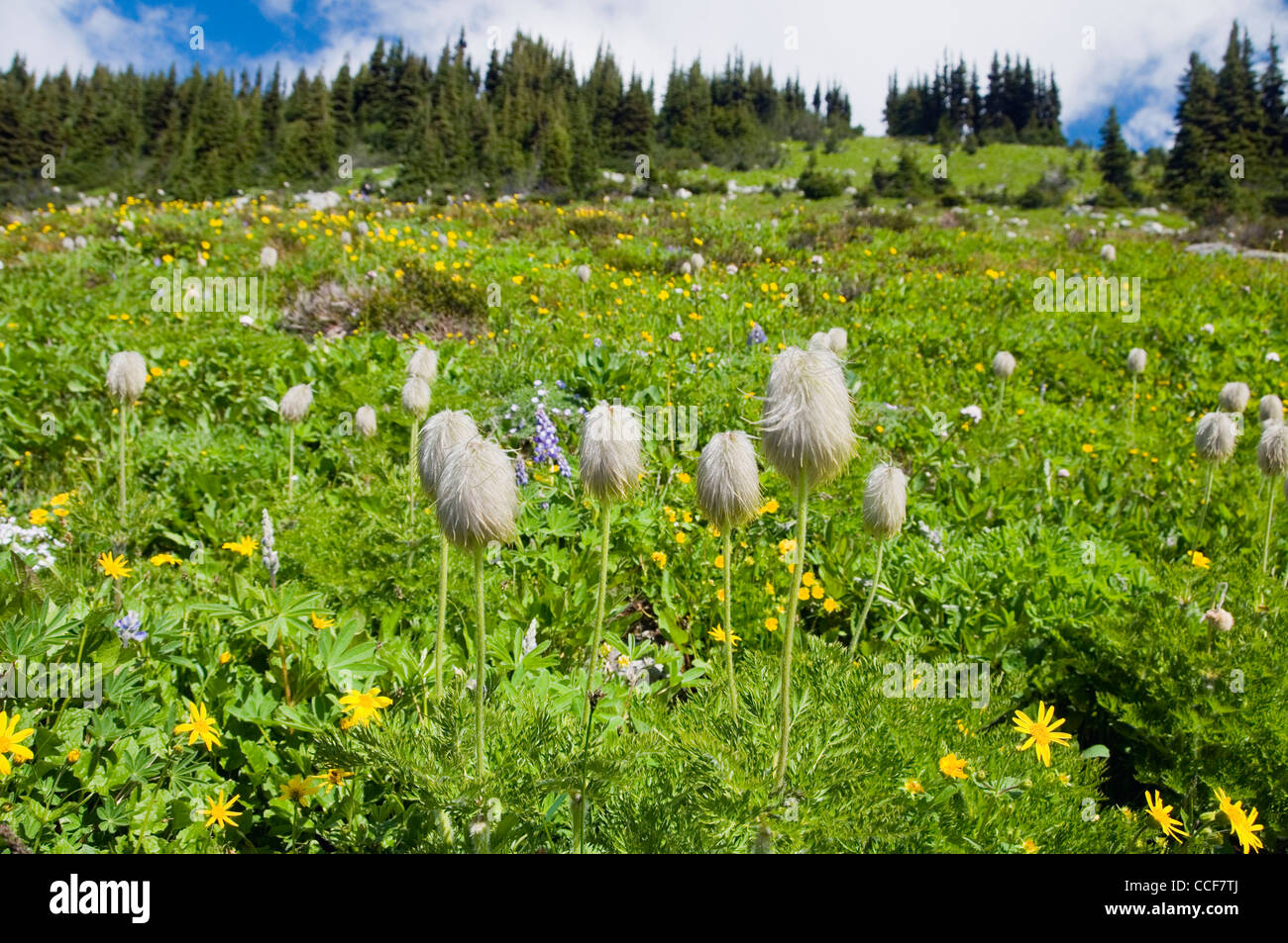 Mop Heads, seed pods of the Pasque flower, at Blackcomb Mountain, Whistler, BC,  Canada. - Stock Image