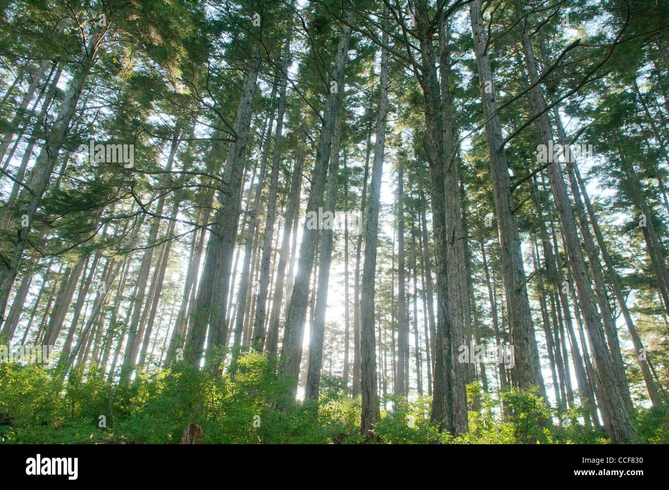 Forest on Bamdoroshni Island, Sitka, Alaska - Stock Image
