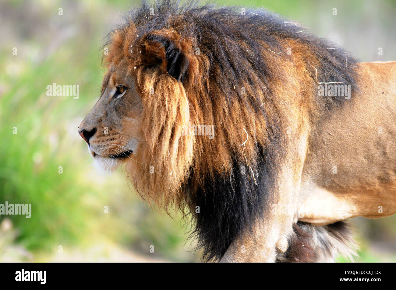 A Lion Enjoys A Beautiful Day At The San Diego Zoo S Wild Animal