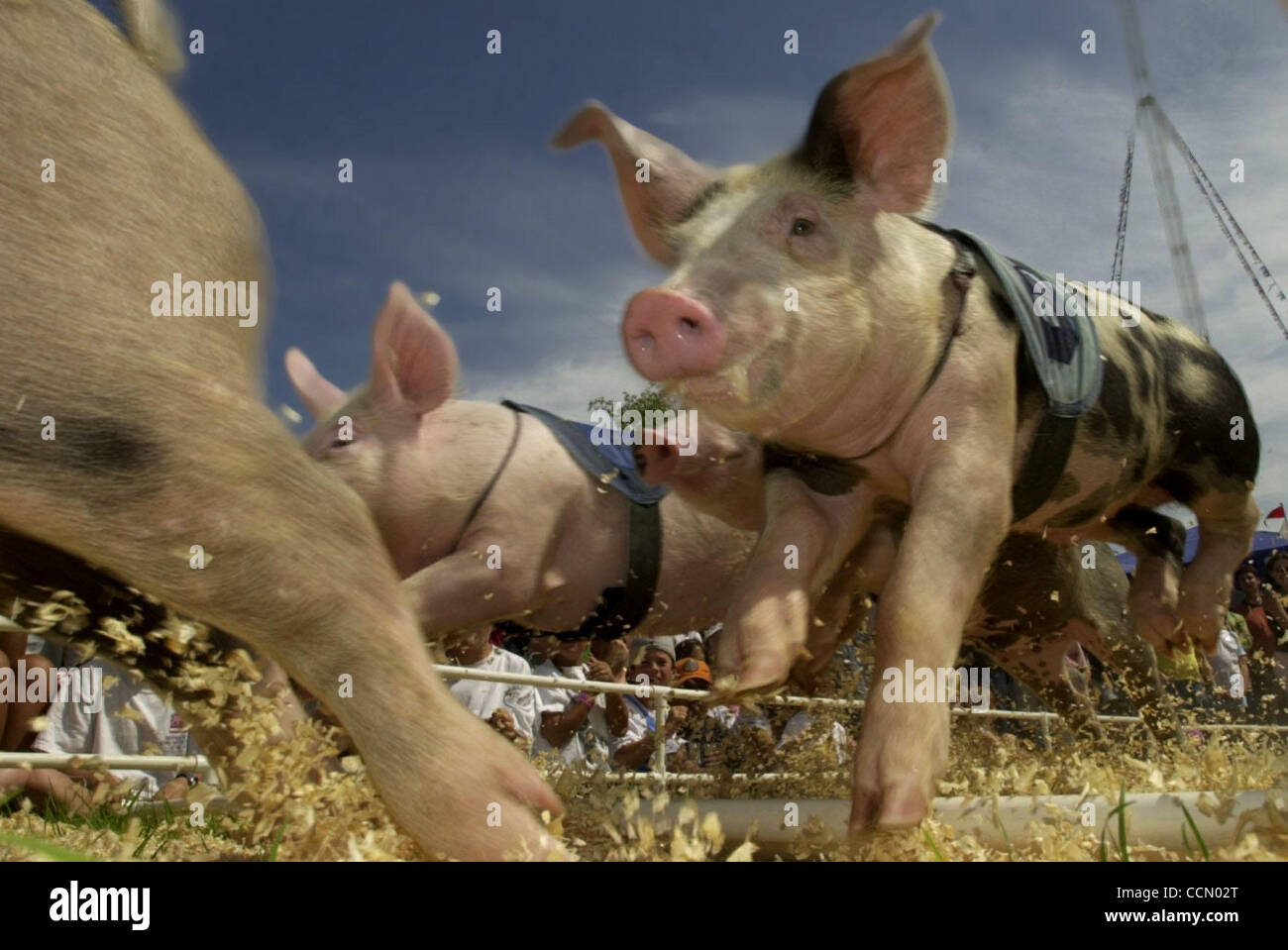 A group of pigs jump over a hurdle that has been knocked down at the 'All-Alaskan Racing Pigs' races held - Stock Image