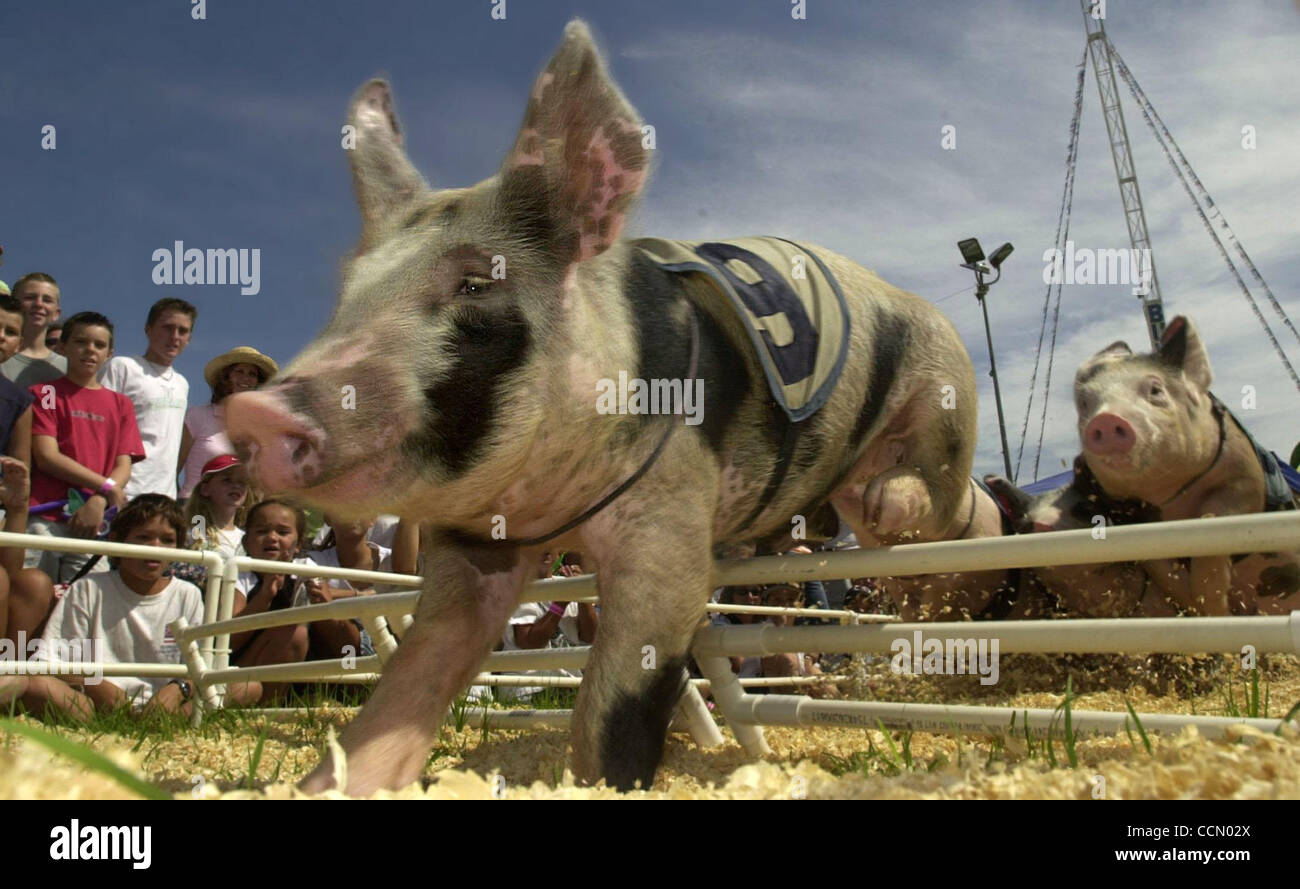 A pig clears a hurdle at the 'All-Alaskan Racing Pigs' races held at the Alameda County Fair in Pleasanton, - Stock Image