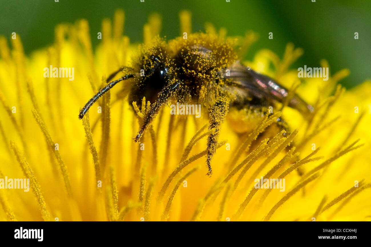 Mar 18, 2010 - Roseburg, Oregon, USA - A small bee (not a honey bee) feeds on a dandelion flower in a county park - Stock Image