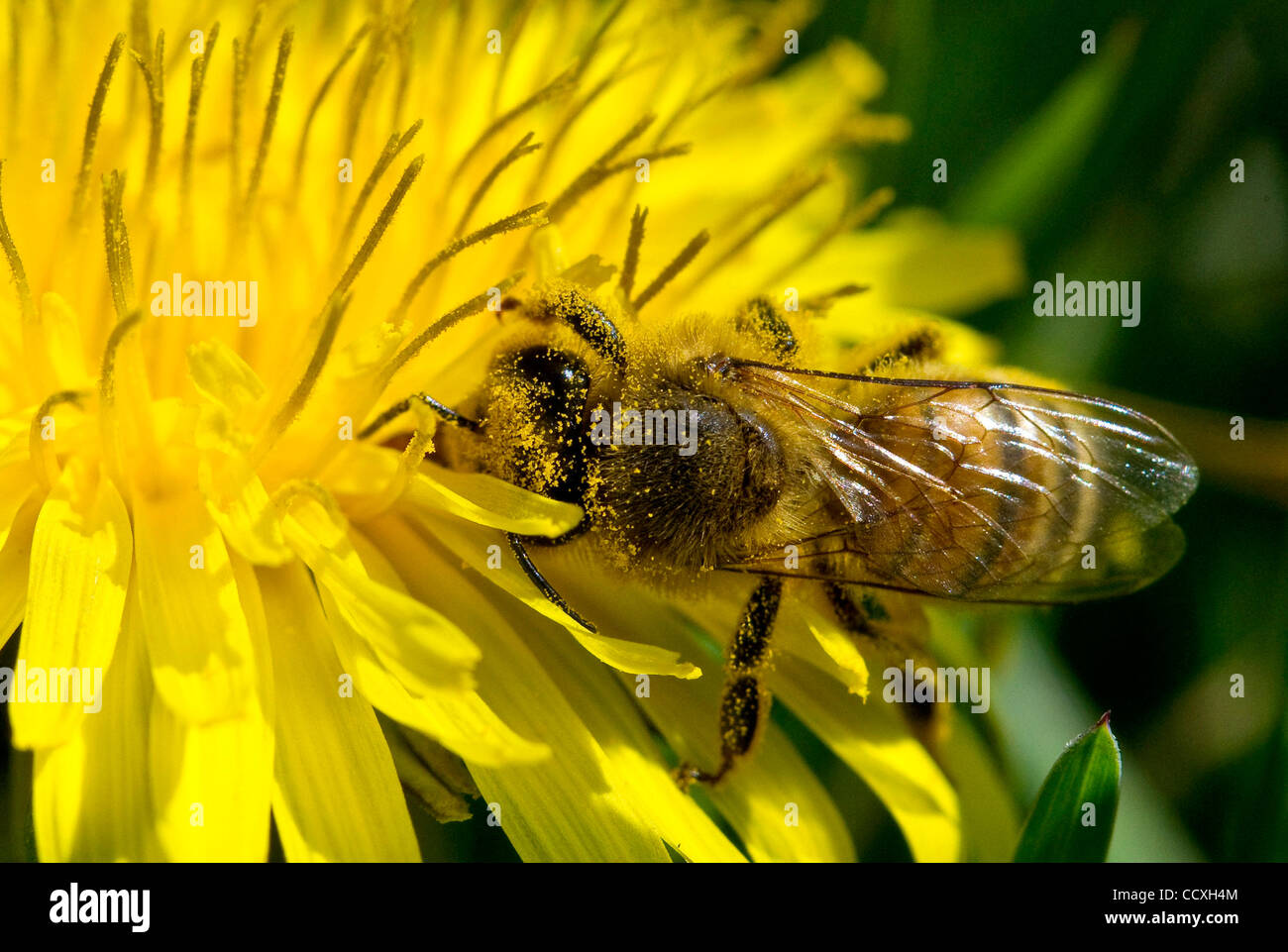 Mar. 18, 2010 - Roseburg, Oregon, U.S. - A small honey bee feeds on a dandelion flower in a county park. The honey - Stock Image