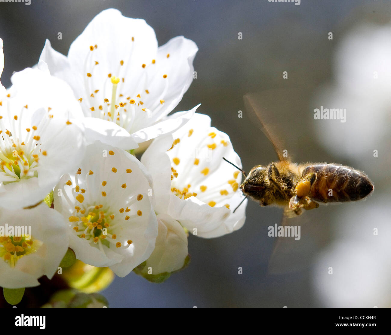 Mar. 19, 2010 - Roseburg, Oregon, U.S. - A small honey bee feeds on a flower in a county park. The honey bee populations - Stock Image