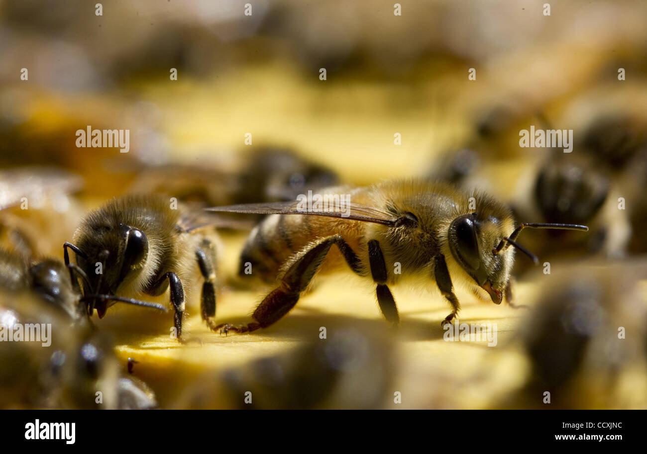 May 16, 2010 - Elkton, Oregon, USA - An active hive of honey bees on a farm near Elkton. The honey bee populations - Stock Image