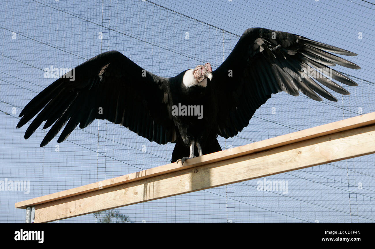 October 20th, 2008, San Diego, California, USA. Inside its new enclosure, a male Andean Condor named APOLLO spreads - Stock Image