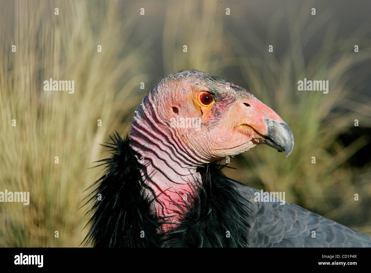 October 20th, 2008, San Diego, California, USA. Inside its new enclosure, a female California Condor named OJJA - Stock Image