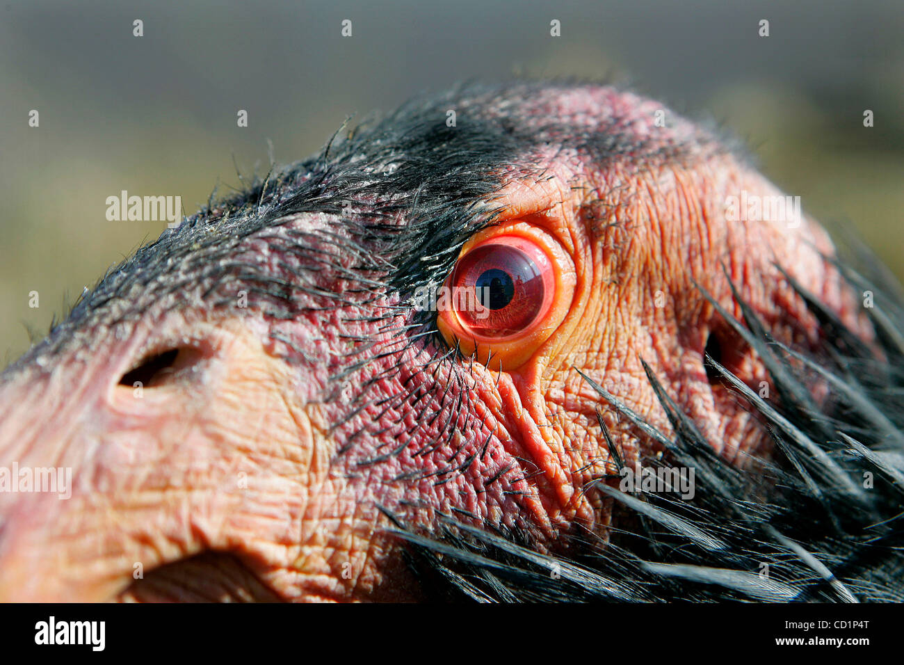 October 20th, 2008, San Diego, California, USA. Inside its new enclosure, a male California Condor named SIMERRYE - Stock Image