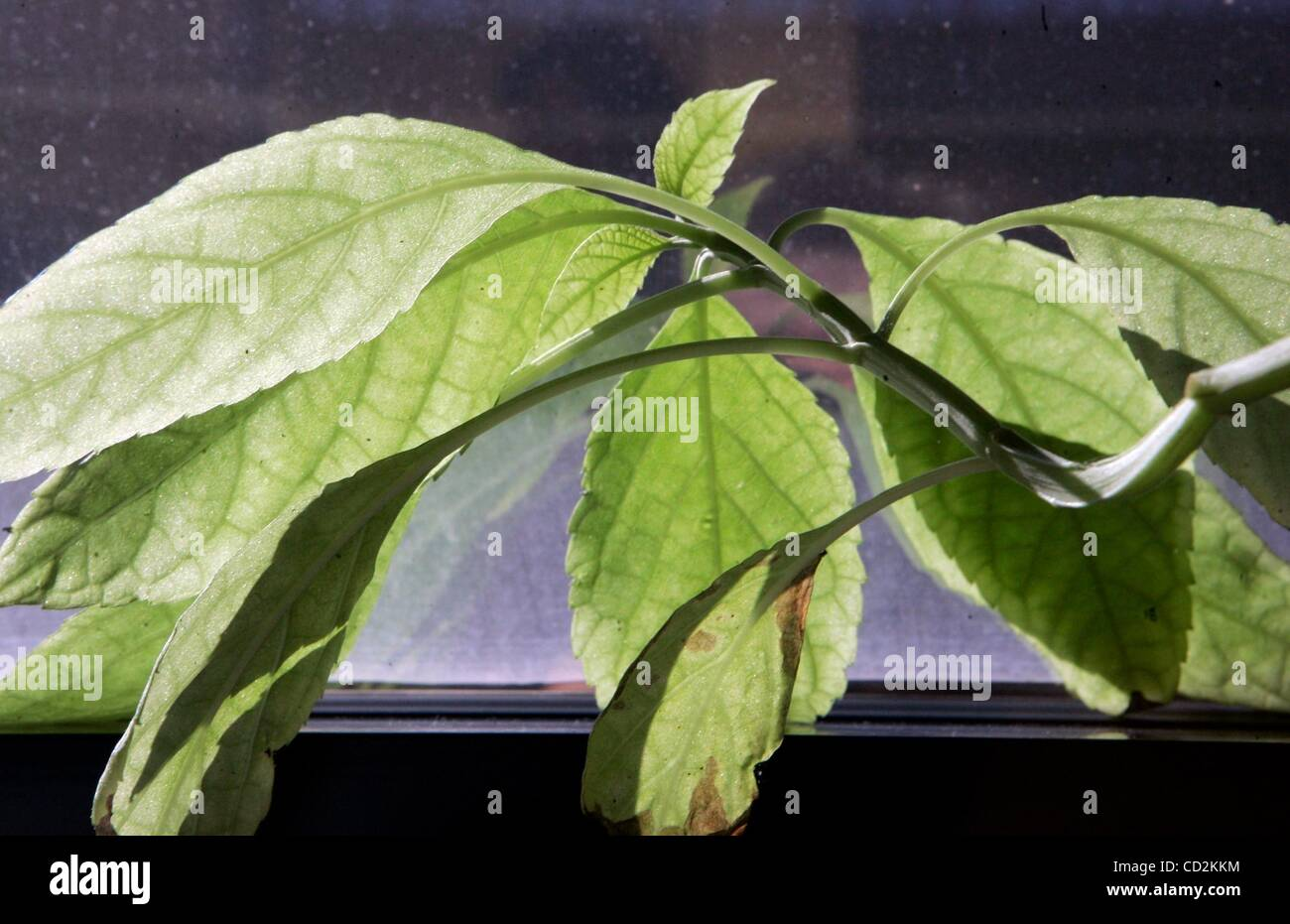 f0cb06694e Mar 11, 2008 - San Diego, California, USA - Detail view of a salvia  divinorum plant witt a label showing it common name growing in the office  of SDSU ...