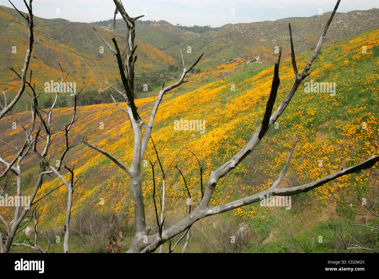March 12, 2008, Poway, California, USA_Burned scub from last October's Witch Creek Fire stands on the blooming - Stock Image