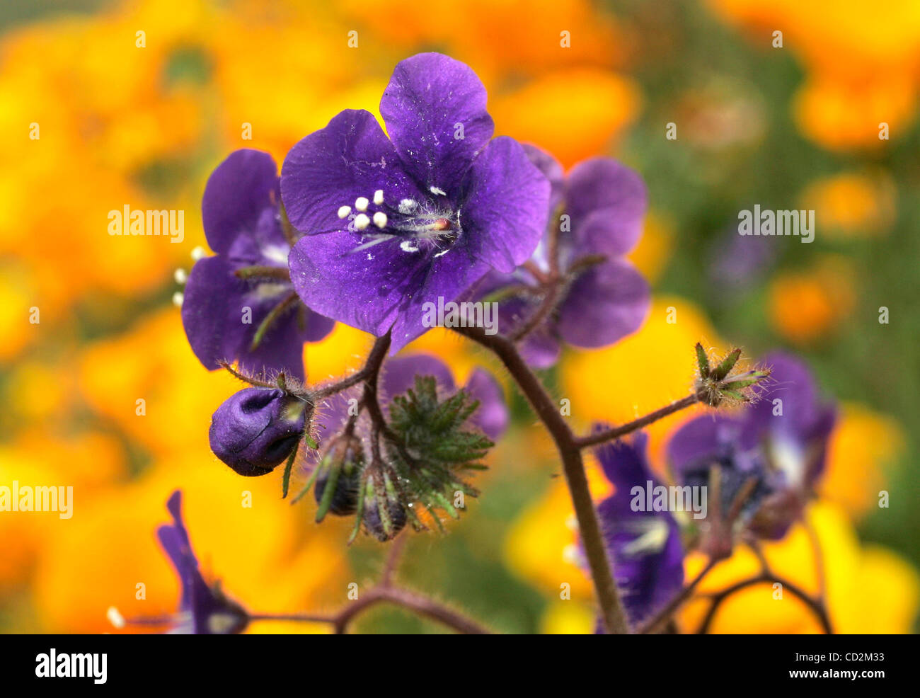 March 12, 2008, Poway, California, USA_Detail view of Canterbury Bells flowers growing among California Poppies - Stock Image