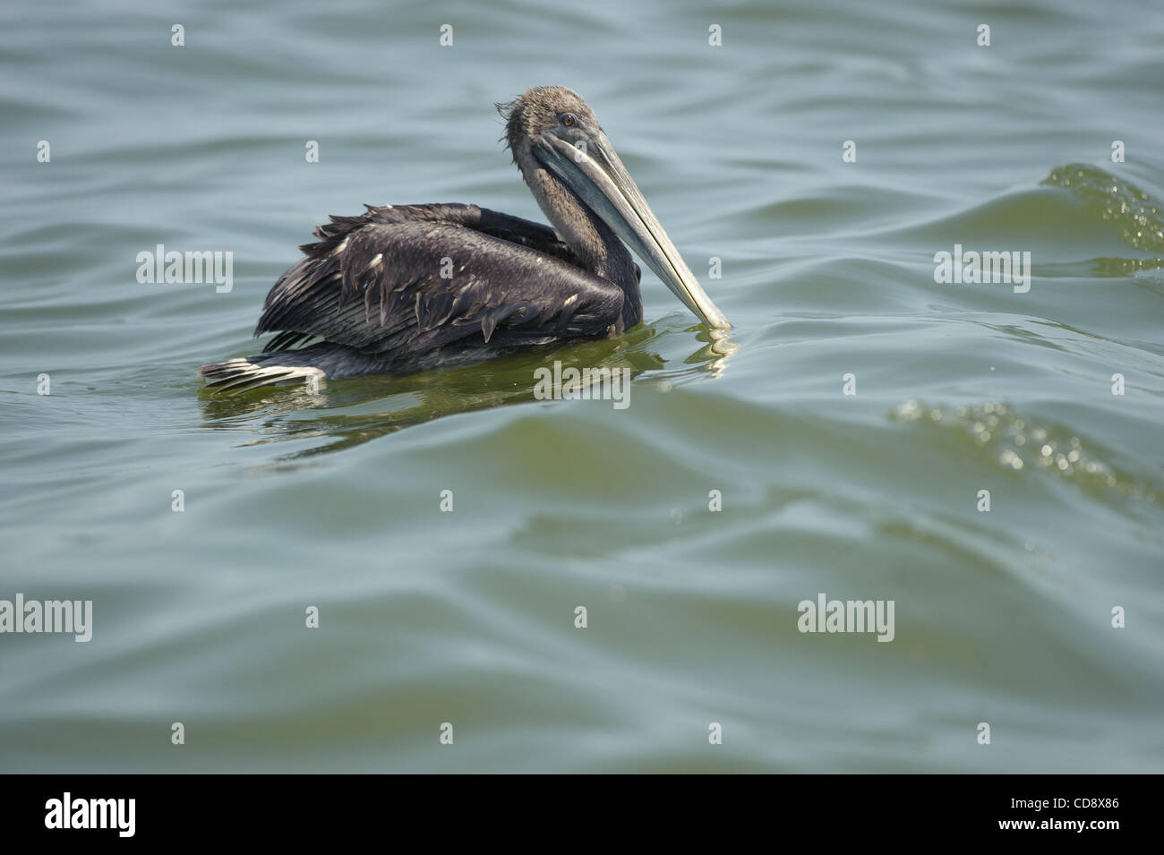 Oil soaked brown pelican . This bird was very weak and made its way back to Cat island. Cat island is a nesting - Stock Image