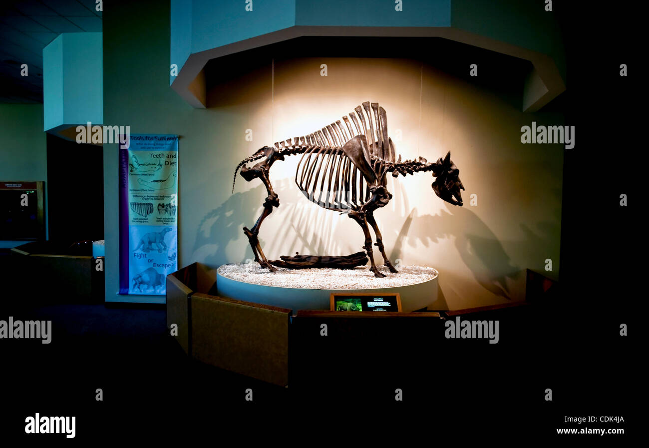 Mar. 09, 2011 - Los Angeles, California, USA - The skeleton of an extinct Antique Bison, Bison antiquus, on display - Stock Image