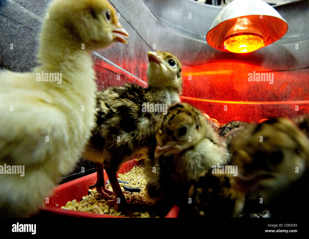 Mar. 16, 2011 - Roseburg, Oregon, U.S - Days old turkey chicks keep warm under a heat lamp at Coastal Farm and Ranch - Stock Image