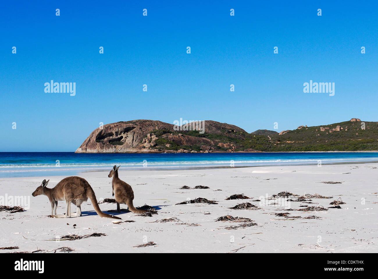 Mar 26, 2011 - Esperance, Western Australia, Australia - Two grey kangaroos sit on the beach at Lucky Bay in Cape Stock Photo