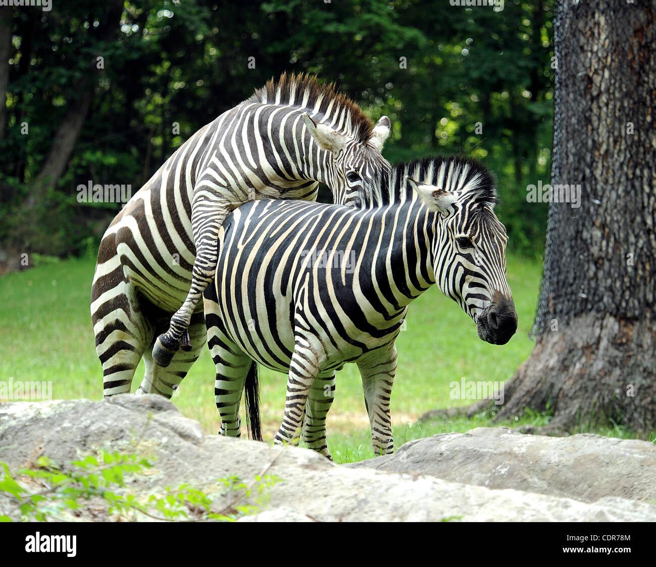 Zebras mating - photo#29