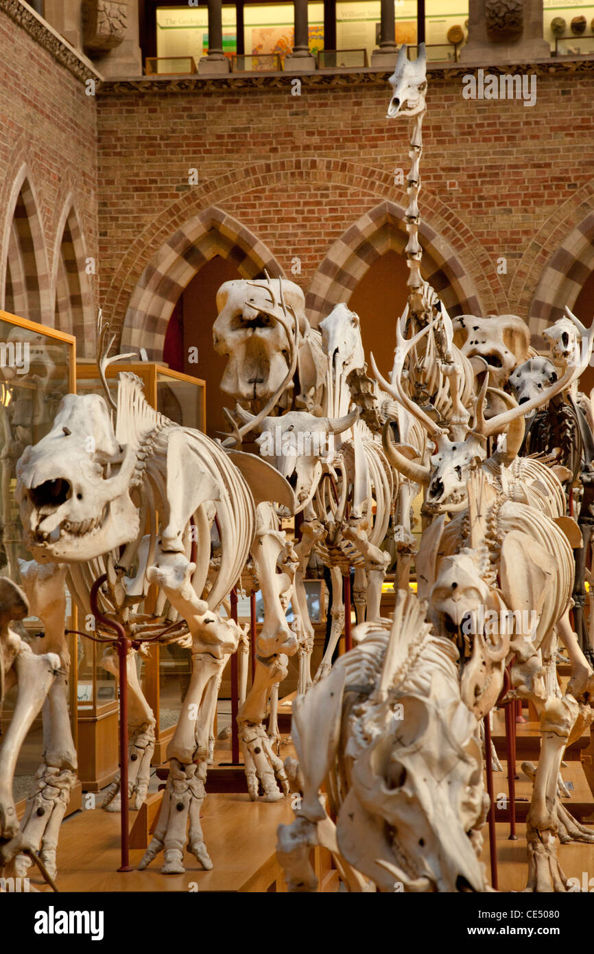 Dinosaur skeletons at the University Museum of Natural History, Oxford, England - Stock Image