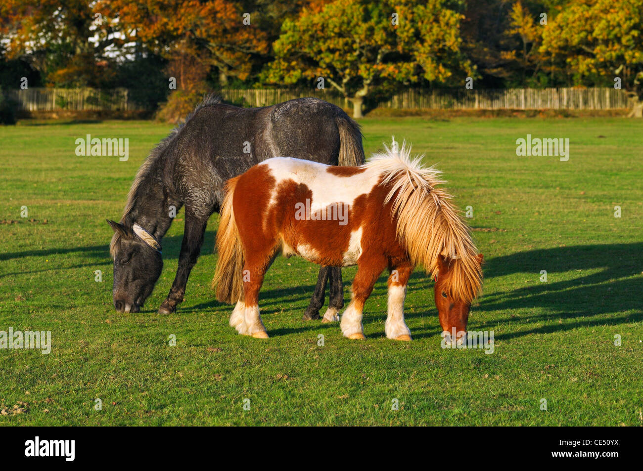 Ponies grazing in the New Forest National Park, Hampshire, UK Stock Photo
