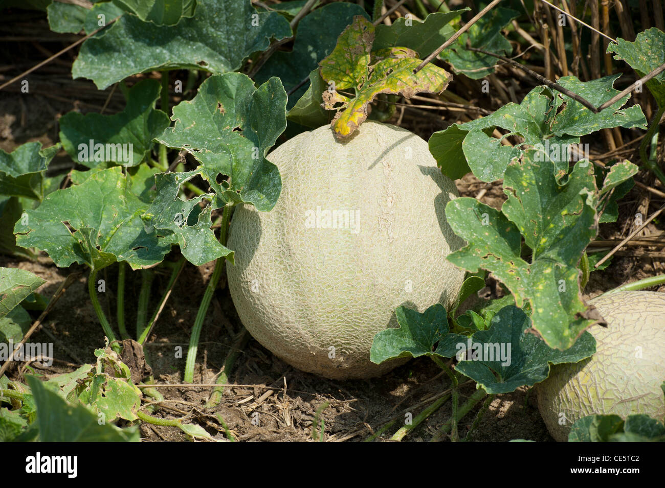 Cantaloupe Vine High Resolution Stock Photography And Images Alamy Melons can be tricky to guage when it's time to pick them. https www alamy com stock photo cantaloupe on the vine in a field on produce farm 43136802 html