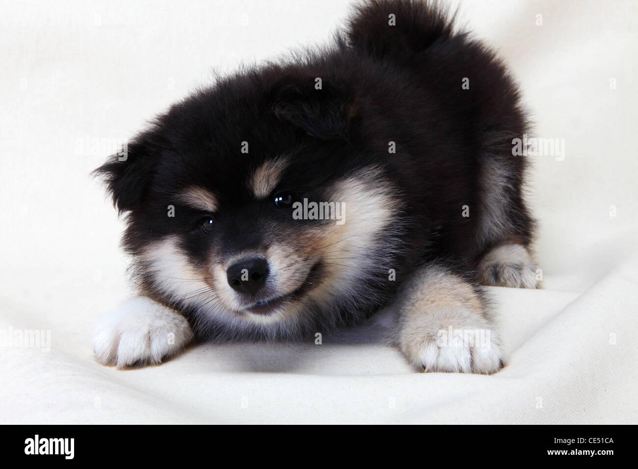 A Finnish Lapphund puppy - Stock Image