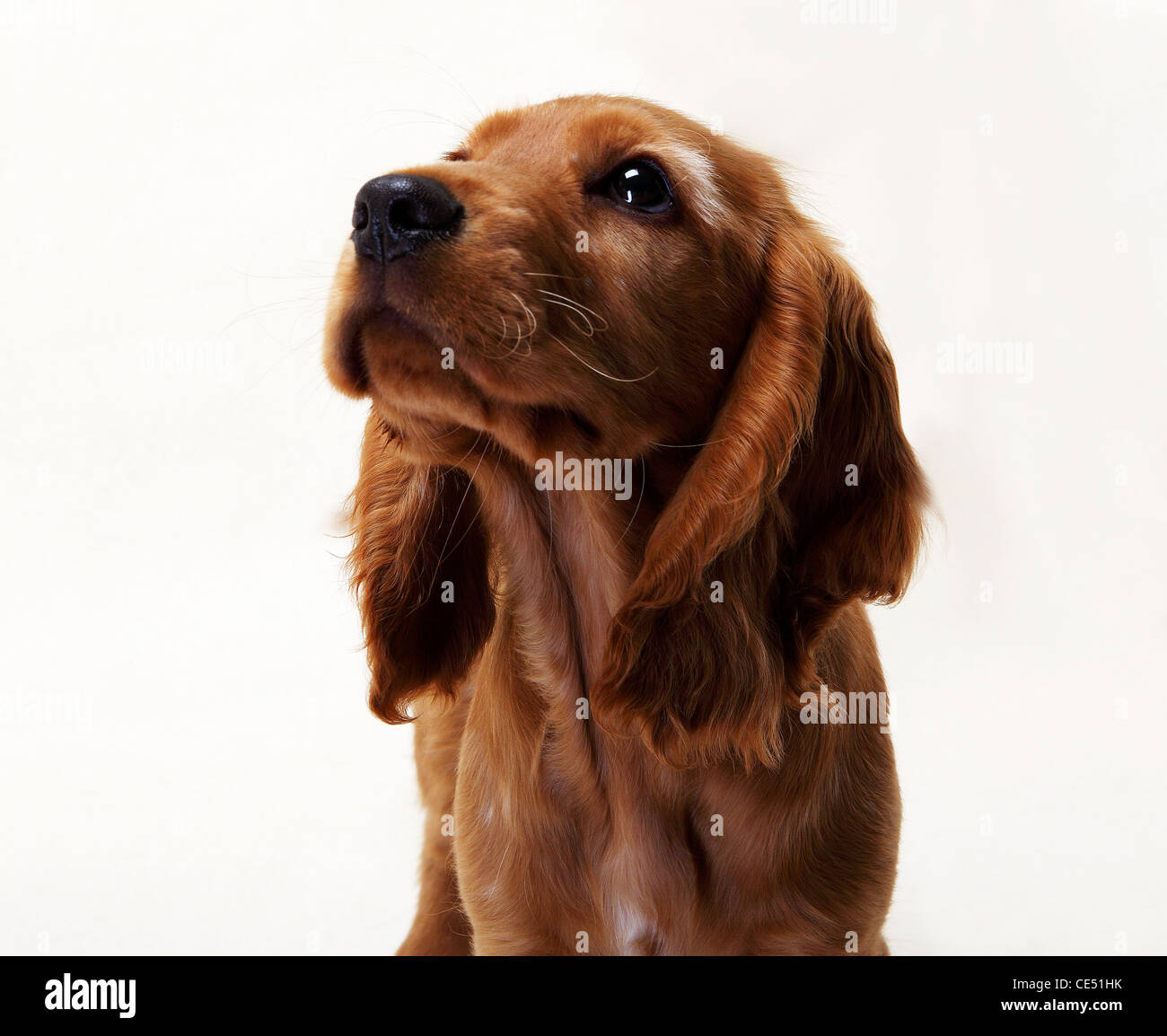 A Working Cocker Spaniel looking away - Stock Image