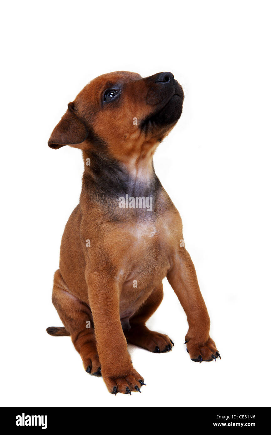 A Patterdale Terrier puppy - Stock Image